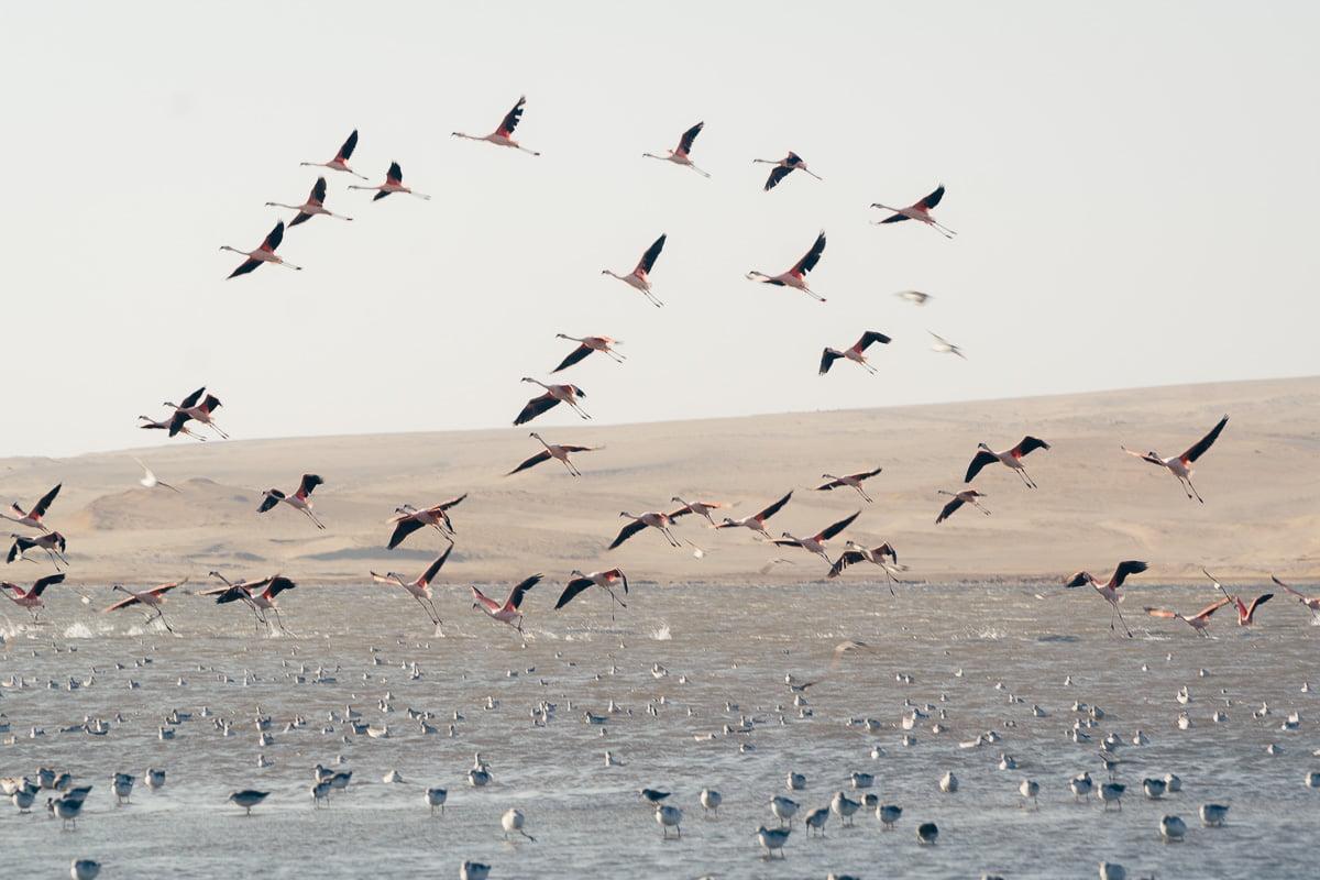 O que Fazer em Paracas - Reserva Nacional de Paracas - Flamingos