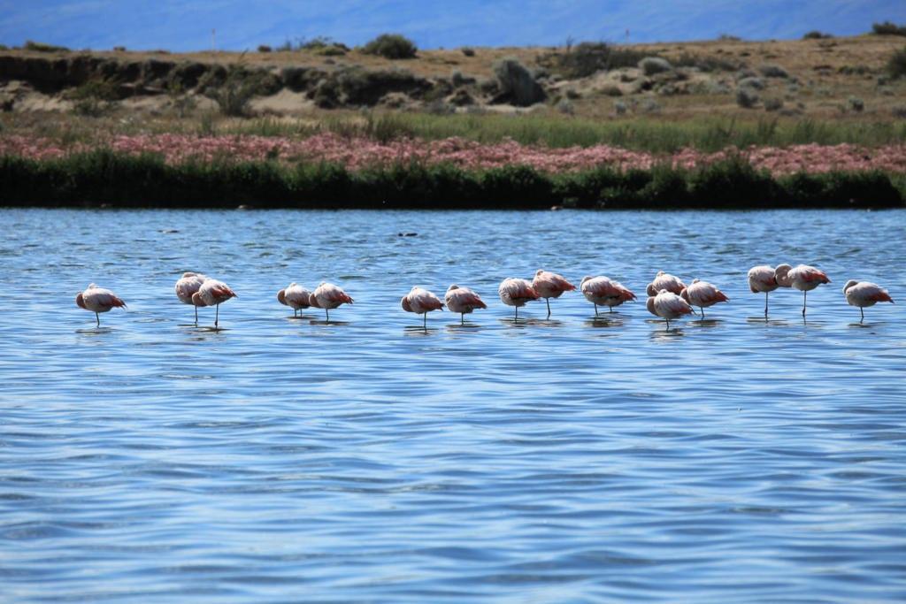 O que Fazer Em El Calafate Perito Moreno Argentina-Foto de flamingos descansando na Laguna Nimez