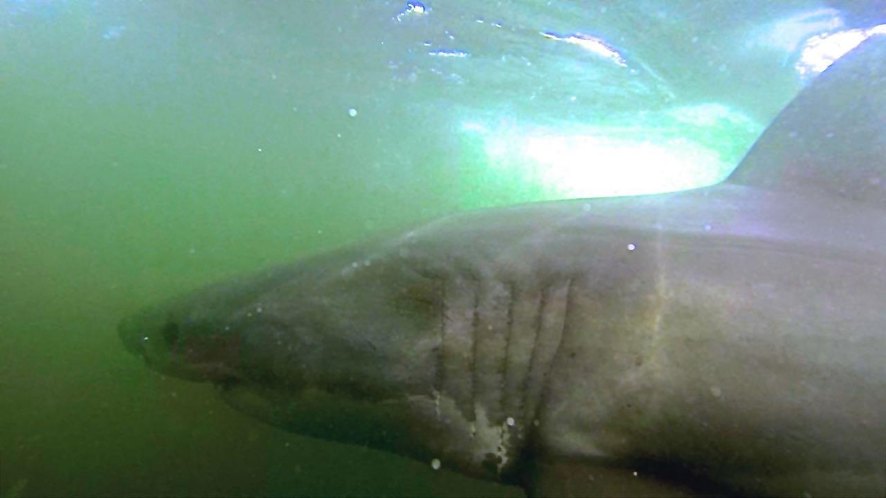 mergulho com tubarão branco - Embaixo dágua