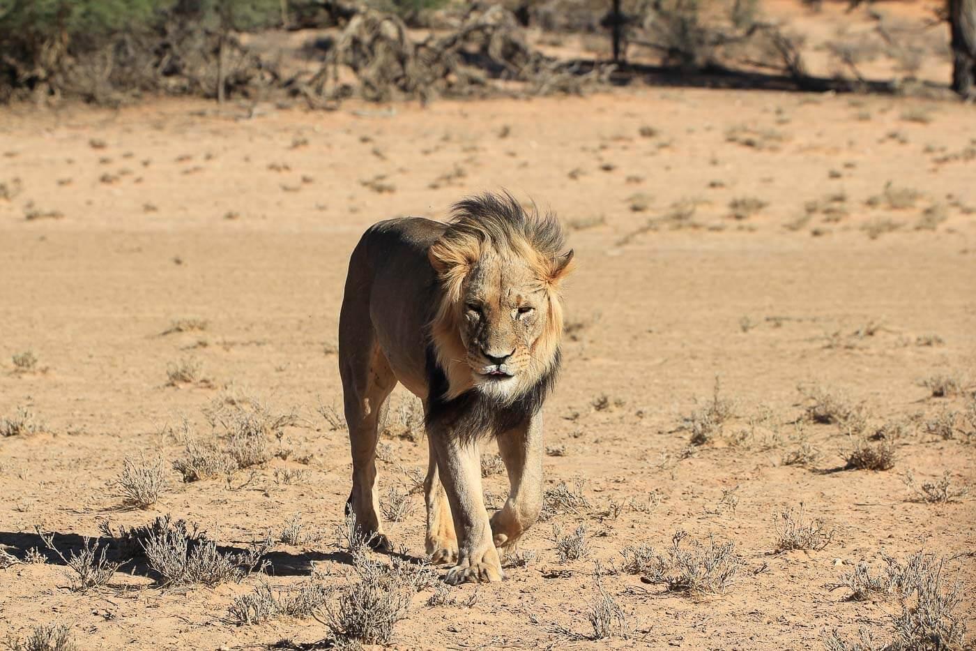Tudo sobre Botsuana - Leão no Kalahari
