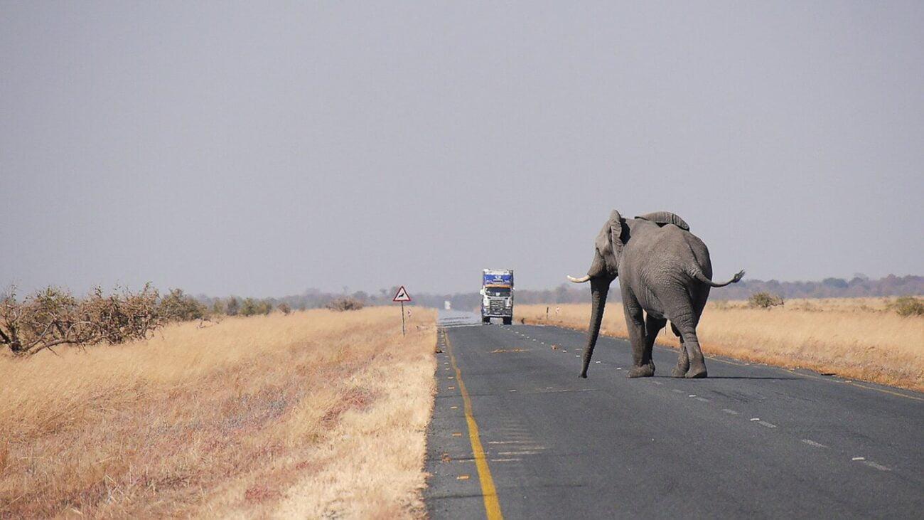 Tudo sobre Botsuana - Elefante na estrada