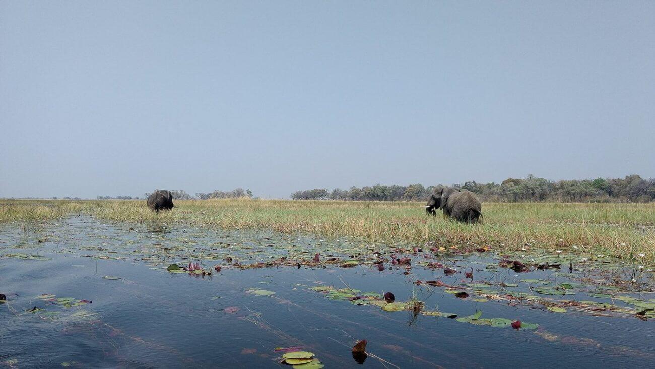 Tudo sobre Botsuana - Elefantes cruzando área alagada