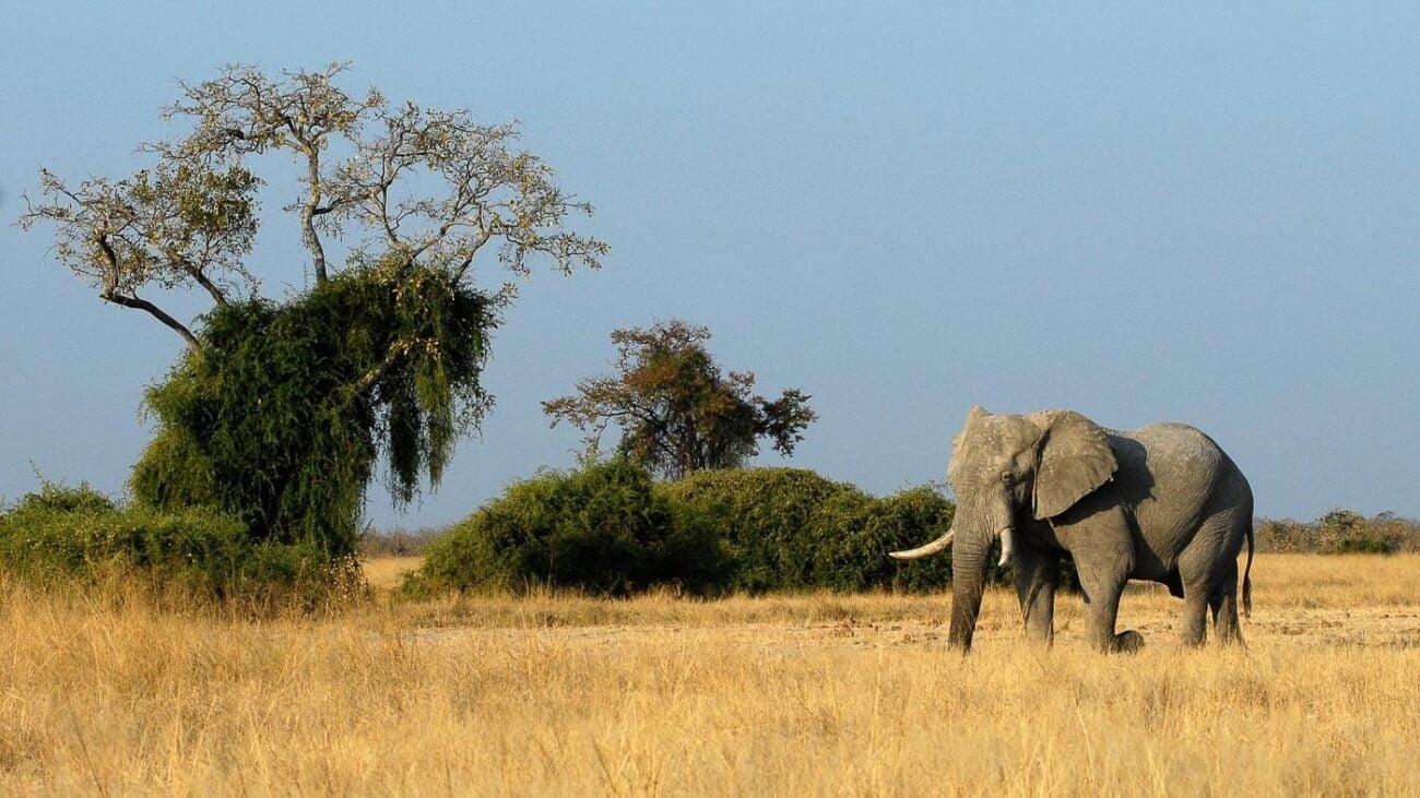 Tudo sobre Botsuana - Elefante no Chobe
