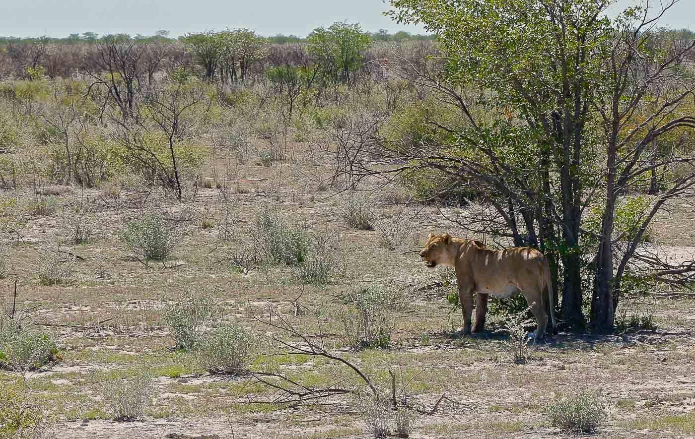 Turismo na Namíbia - Leão