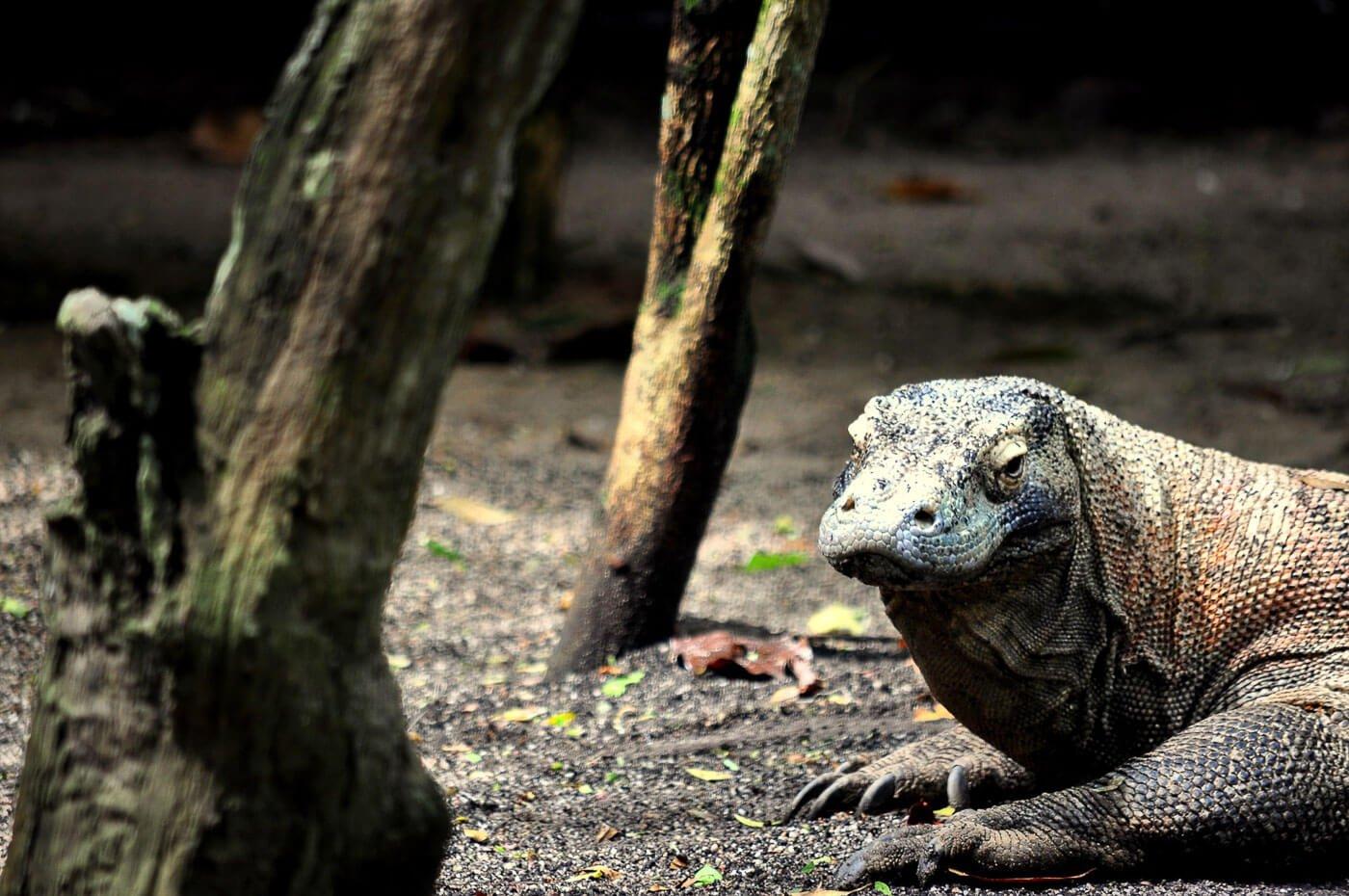 Viagem para Indonesia - Dragão de Komodo
