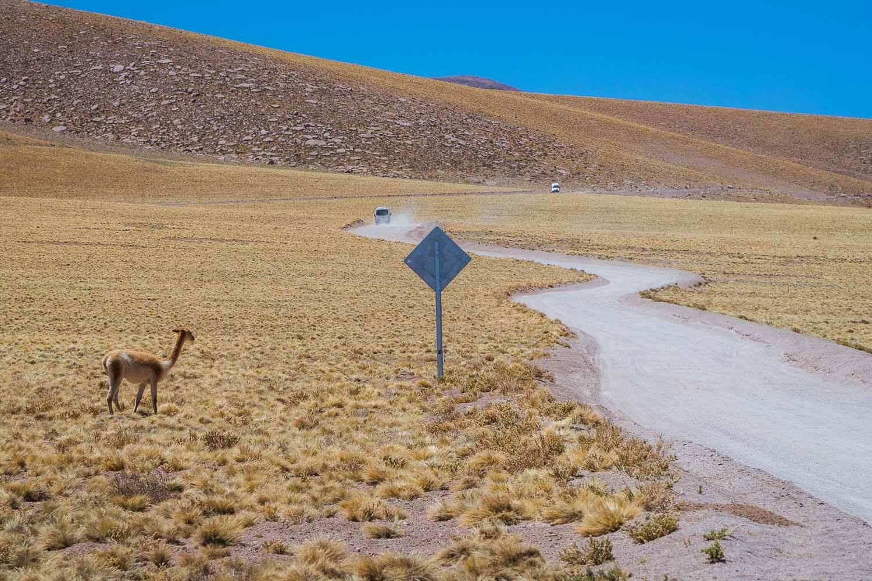 Estrada de acesso a Laguna Miscanti e Minique com uma Vicuña, um dos camélidos sulamericanos. Lagunas Altiplanicas Piedras Rojas Salar do Atacama Laguna Chaxa