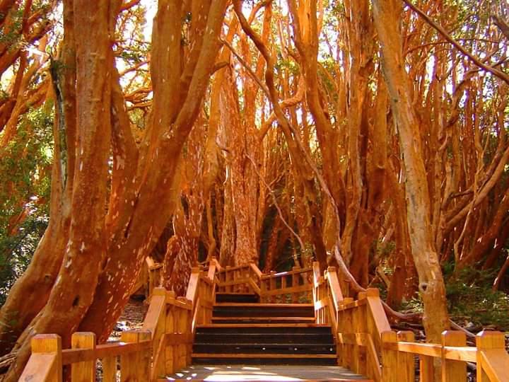 Bosque de Arrayanes - O que fazer em Vila la Angostura