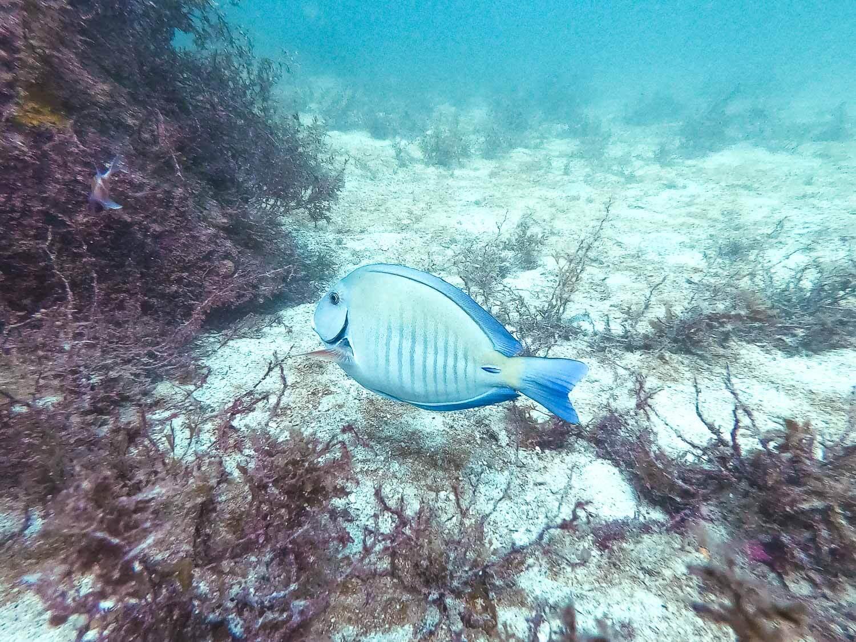 Mergulho em Arraial do Cabo - Peixe Cirurgião