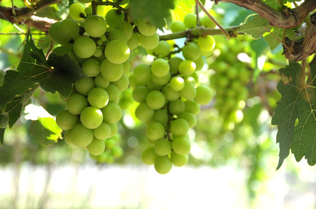 Vinícolas em Santiago - Sauvignon Blanc